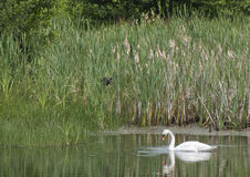 Swan. A Swan on a pond in the northeast of England, feeding and sedately floating around stock image