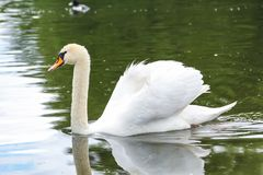 Swan on the pond in the park near the Nymphenburg Palace in Munich in Bavaria stock images