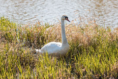 Swan on the pond. In plants Stock Images
