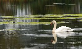 Swan on pond Stock Photo