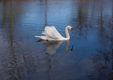 Swan on the pond. Reflection in quivering water Stock Photos
