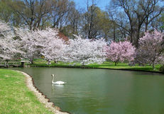 Swan on a Pond in Spring Stock Photo