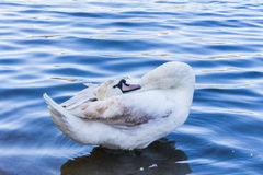 Swan in Pond Royalty Free Stock Image