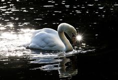 Swan in pond with a twinkle eye stock image