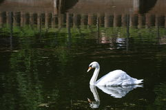 Swan in the pond Stock Photos