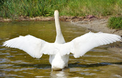 Swan on the pond. White swan is standing with wings spreaded Stock Images