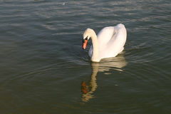 Swan in Pond Royalty Free Stock Photography