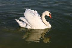 Swan in Pond Stock Photo