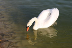 Swan in Pond Stock Photography