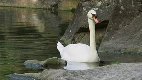 Swan In A Pond stock video