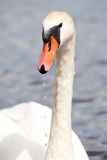 Swan portrait Stock Images