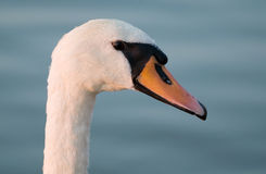 Swan portrait. Mute swan on a lake Stock Photos