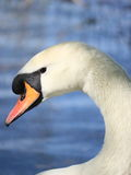 Swan portrait. Close-up of a white swan with an arched neck Royalty Free Stock Photos