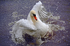 Swan portrait. Wild swan bathing in the lake Royalty Free Stock Photography