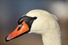 Swan portrait. Swan headshot with good light Stock Photos