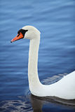 Swan portrait. Swan headshot with good light Royalty Free Stock Photos