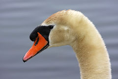 Swan portrait Royalty Free Stock Image
