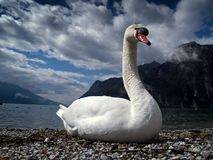 Swan portrait. A mute swan portrait close up - taken on Lake Garda - Italy stock images