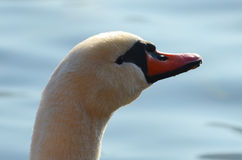 Swan portrait Royalty Free Stock Images