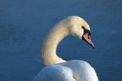 Swan portrait Stock Photo