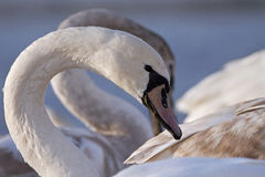 Swan portrait Stock Photography