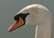 Swan Portrait. A Swan covered in droplets shining in the sun stock image