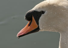 Swan Portrait. A Swan covered in droplets shining in the sun stock photos