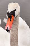 Swan portrait Stock Image