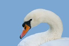 Swan portrait with feather Stock Image