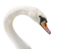 Swan portrait isolated on white. Stock Images