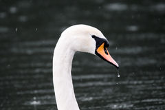 Swan Portrait Stock Photo