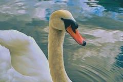 Swan portrait. Mute swan Cygnus olor gliding across Lake Hallstatt Austria in sunrise morning light. royalty free stock photo