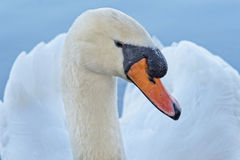 Swan Portrait Stock Photography