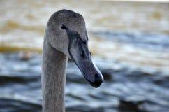 Swan portrait Royalty Free Stock Photos
