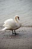 Swan Portrait Royalty Free Stock Photography