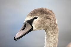 Swan portret Royalty Free Stock Photos
