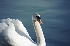 Swan posing on the lake Stock Images