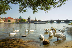 Swan in Prague. Royalty Free Stock Photo