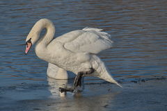 Swan preen Royalty Free Stock Photo