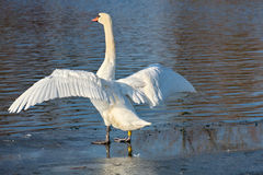 Swan preen Royalty Free Stock Images