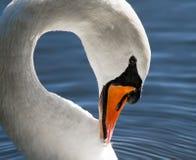 Swan Preening Royalty Free Stock Photo