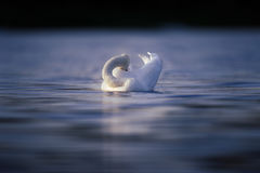 Swan Preening on Dark Blue Water Royalty Free Stock Photography