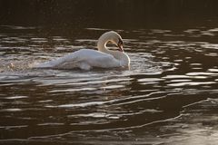 A swan preening on a frosty morning stock photos