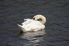 Swan preening Stock Photos