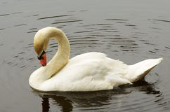 Swan preening its feathers. Royalty Free Stock Images