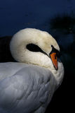 Swan Preening by the Lake Stock Photo