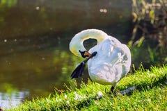 Swan preening on the lakeshore Stock Photos