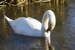 Swan preening Royalty Free Stock Photography