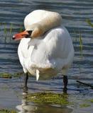 Swan preening. Mute swan standing,rear view,preening in strange position Stock Images