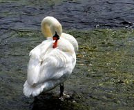 Swan, preening Royalty Free Stock Photography